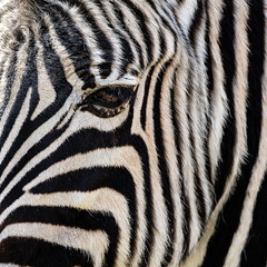 Lines (FotoCorn on/off) Tags: blijdorp zoo rotterdamzoo blijdorpzoo zebra lines 38lines 52of2017 animal stripes bw