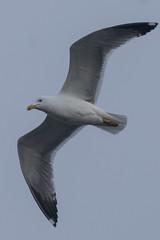 Thorough the fog it came (VALERIA MORRONE ヴァレリア فاليريا) Tags: gull seagull gabbiano nebbia fog torre mare wings ali piume cielo uccello sky valeria morrone nikon d60 bird birds gabbiani gulls