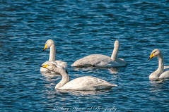 Whooper Swans at Wigan Flashes (phat5toe) Tags: whooperswan birds avian feathers wetland scotsmansflash wigan greenheart nature wildlife nikon d300 tamron150600mm