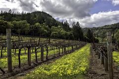 Pruned Vines (lennycarl08) Tags: vineyard vine grapes winecountry solanocounty drycreekvalley california northerncalifornia
