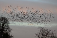 Murmuration over Wimblington (cheritage101) Tags: starling starlings bird birds wimblington flock murmuration cambridgeshire cambs dusk sunset trees sky cloud