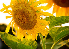 Sunflower smiling in the sun (Cordia Loretta) Tags: green sunflower leaves sunny sun bright yellow botanicalflowers rose red blue white orange soft botanicalgardens garden pink brochure stockflower stock cordiamurphy dew dewdrops drops flowers flower botanicalgarden lilypond lilypad droplets water brook stream lake wildflowers botanicalgardensorchidshow2010 orchid butterfly butterflies softcolors daisies daisy floers bronxbotanicalgardens rain mist colorful monet peaceful serene