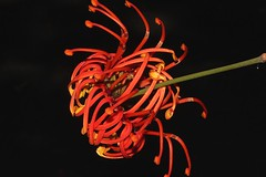 Stenocarpus sinuatus (andreas lambrianides) Tags: stenocarpussinuatus proteaceae cybelesinuata yielyiel oak white tulipflower whitesilkyoak wheeloffiretree wheeloffire firetree whiteoak firewheeltree whitebeefwood qrfp arfp nswrfp arfflowers tropicalarf australianflora australiannativeplant australianrainforest australianrainforesttrees redarfflowers stenocarpus