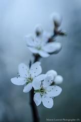 Petite douceur (Manonlemagnion) Tags: fleurs plante nature sauvage douceur bokeh macro nikond7000 105mm28