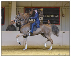 Brianne & Handsome (GAPHIKER) Tags: brianne hromnak saddle bred rescue saddlebredrescue sbr saddleseat handsome killers northwindstables dreampark newjersey horse competition show ring jana