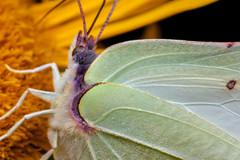 Purple Fringing - _TNY_9831 (In Explore 16/3 2017) (Calle Söderberg) Tags: macro canon canon5dmkii canonef100mmf28usmmacro canoneos5dmarkii raynox dcr250 meike mk300 flash glassdiffusor insect butterfly fjäril brimstonebutterfly gonepteryx rhamni citronfjäril oxeyedaisy giantoxeyedaisy telekia speciosa strålöga scales explore explored