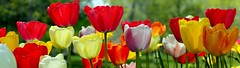 Botanical Gardens Tulips 2017 (JoelDeluxe) Tags: flowers tulips albuquerque biopark botanical garden nm newmexico hdr autostitch panorama joeldeluxe
