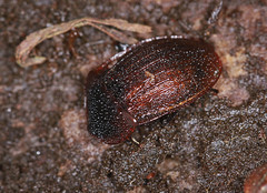 Black Snail Beetle - Silpha atrata (Prank F) Tags: wakerleygreatwood forestrycommission wakerley rockinghamforest northantsuk nature wildlife insect macro closeup beetle carrion burying black snail red silphaatrata