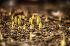 Sprouting (flashfix) Tags: april102017 2017inphotos ottawa ontario canada canon canoneos5dmarkii 5dmarkii 100mm nature garden lily lilies growth spring dirt mothernature green