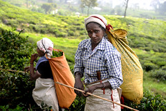 Tea pickers (MelindaChan ^..^) Tags: tea picker teapicker worker labor life people folks culture plantation green field plant agriculture woman lady