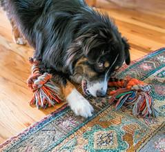 15/52 - Game On (jayvan) Tags: dash aussie australianshepherd dog home rope toy tug playful sunday portland oregon 52wfd 52weeksfordogs