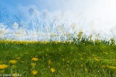 PPG_0011-5 (pavelkricka) Tags: holbrook intentionalcameramovement icm multiple exposure daffodil