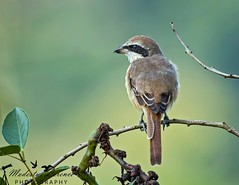 Shrike (Modestus Lorence) Tags: 300mmf28isii markii 1dx canon wildlife bokeh singapore shrike birds animals