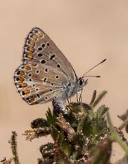 Polyommatus celina (Fotografía de Naturaleza de Paco Moreno Gámez) Tags: flora fauna fotografía naturaleza andalucia dunas corralejo fuerteventura islas canarias mariposa licenidae