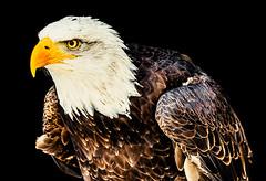 Weißkopfseeadler (lotharwillems) Tags: weiskopfseeadler adler vogel raubvogel greifvogel nahaufnahme tierpark