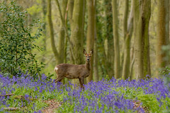 Could do better! (Donna Hampshire) Tags: donnarobinson donnahampshire inspiremephotographycouk bluebell woodland nature hampshire hampshirewildlife roedeer deer capreoluscapreolus