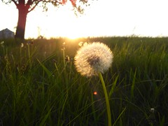 wondering...... (Emilynx) Tags: sunset seed seeds dandelion green grass glow tree nature natura natur natural flickr photography focus pretty