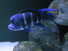 00734954 Aquarium Berlin 1 - 2017 (golli43) Tags: aquariumberlin zoo fische krokodile quallen wasser wasserpflanzen amphibien insekten unterwasserwelt
