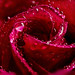 "Dewy Red Rose Macro • <a style=""font-size:0.8em;"" href=""http://www.flickr.com/photos/124671209@N02/33399852752/"" target=""_blank"">View on Flickr</a>"