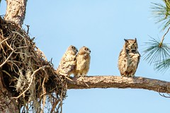 Great Horned Owl with Owlets (James Kellogg's Photographs) Tags: great horned owls owlets babies momma out limb nest fledging branching dady mother little ones v canon eos 7d mark ii ef70200mm f28l is usm 2x iii birds fowl birding watching tree pine