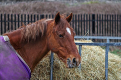 Purple Blanket and Lunch (meniscuslens) Tags: pony rug blanket hay fence horse chestnut manger cheddington buckinghamshire rural