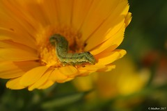 Half in Sun-Half in shade... (madhavmallia) Tags: flower yellow worm insect sunny shade basking orange