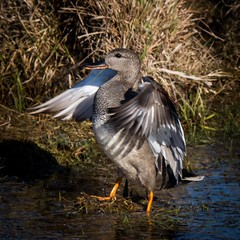 Snatterand hane som visar upp sig. Gadwall showing off a bit  #excellent_nature #excellent_nordic #ig_myshot #feather_perfection #kings_birds #ig_week_nature #igsweden #ig_discover_birdslife #nature_sultans #nature_brilliance #birdextreme #bird_brilliance