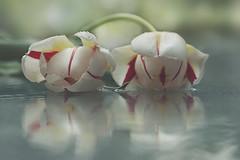Alter Ego (charhedman - on and off) Tags: twotulipslookingatthemselvesinapuddleonaglasstable twins doppleganger tulips tulipsonthepatiotableintherain reflections waitingforspringihadtobuythetulips 52weekthemechallengegroup takenonthesamedayasdancingbymyself