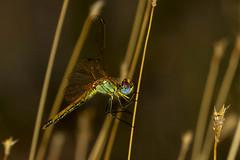Nomad, Bornmansdrift, Clocolan, Freestate, Dec 2017 (roelofvdb) Tags: 2016 clocolan date december dragonanddamselflies dragonflies dwesa16 nomad odonata place sympetrumfonscolombii year