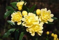 Tiny bunches of sunshine! (ChicaD58) Tags: dscf8574b yellowroses tinyroses dainty vine abundant flowers idneeded winter feltmorelikespring dausettrailsnaturecenter middlega