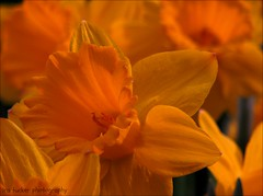 Never miss an opportunity to make others happy, even if.... (itucker, thanks for 2.9+ million views!) Tags: narcissus daffodil daffodils macro bokeh hff dukegardens