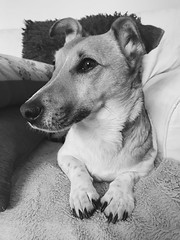 Princess Connie (KelJB) Tags: beautiful cute face portrait terrier animal canine pet dog jackrussell