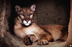 Cruz Hiding (ELAINE'S PHOTOGRAPHS) Tags: cats felines nature animals wildlife cougars panthers pumas mountainlions