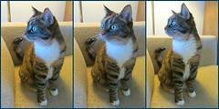 Gracie 8 April 2017 4029-4030-4032 (edgarandron - Busy!) Tags: cat cats kitty kitties tabby tabbies cute feline gracie patchedtabby