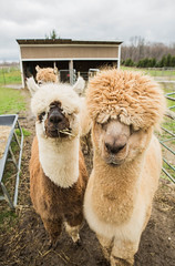 medina-7732 (FarFlungTravels) Tags: alpaca animal farm medinacounty onefineday shear wool