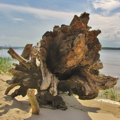noname (Gerry Dincher) Tags: carolinabeachstatepark carolinabeach northcarolina northcarolinadepartmentofparksandrecreation newhanovercounty statepark park estuary conservation sand barrierisland erosion wearing weathering rotting tree log capefearriver