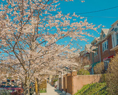 Touch of Spring (JMS2) Tags: spring street neighborhood cherryblossoms colors bronx