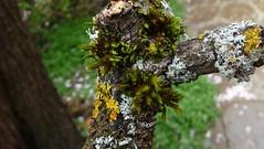 P1070283 (Fran Mengual PHOTO) Tags: moss musgo rama tree