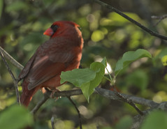 cardinal (Anne Davis 773) Tags: 2017365 111365 cardinal bird male maxell