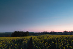 Afterglow At Glatton (Adam_Marshall) Tags: adam marshall spring england sunset nature cambridgeshire stereocolours outdoors countryside landscape field dusk adammarshall flowers twilight trees blue sky soft dark atmospheric fen fenland nostalgic melancholy glatton afterglow