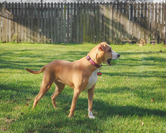 Ready to play Fetch (mnuckols3485) Tags: dog pet fetch outdoor outdoors grass mansbestfriend bestfriend playing playful play puppy pup domestic animal mutt pitbull american foxhound golden retriever