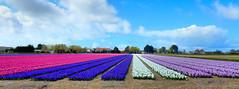Hyacint veld (Meino NL) Tags: bollenveld hyacinten hyacinths bolgewas hyacinthusorientalis asparagaceae hyacinthus egmond voorjaar noordholland lente spring netherlands