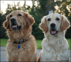 Father & Daughter Day (John Neziol) Tags: kjphotography goldenretriever fieldretriever pointynoseddogs interestingdogposes smileofadog pet dogtongue dog dogpark animal outdoor nikon nikondslr nikoncamera