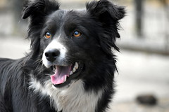 working lad (mulligan.janice) Tags: dog sheep collie working farm clever ireland