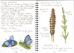 Holly Blue & Horsetails (Hornbeam Arts) Tags: butterflies equisetaceae equisetumarvense