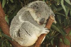 Mighty K.C. (Swebbatron) Tags: australia brisbane nature animal koalabear koala lonepinekoalasanctuary fuji radlab dropbear eucalyptus 2008 travel lifeofswebb