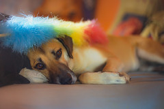 Dusting the house... (petrapetruta) Tags: dog sleepy duster colorful