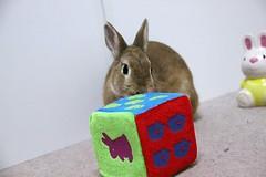 Ichigo san 675 (Ichigo Miyama) Tags: いちごさん。うさぎ ichigo san rabbit bunny netherlanddwarf brown ネザーランドドワーフ ペット いちご うさぎ