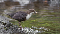 Dipper (Danny Gibson) Tags: birds bird birdwatching birding birdwatcher birdphotography nature wildlifephotography wildlife wildbirds canon7dmarkii canon7dmk2 canon400mmf56l dgpixorguk dipper dippers eurasiandipper