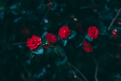 Fear of Time (maxencebrierre) Tags: canon canon60d color cold red art maxgrey maxencebrierre vintage dark day 60d exposure photo photographe photoshop lightroom light filter time garden roses flowers flower france french f18